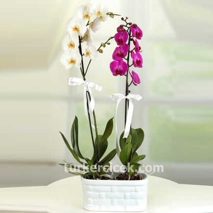 Mor ve Beyaz Orkide