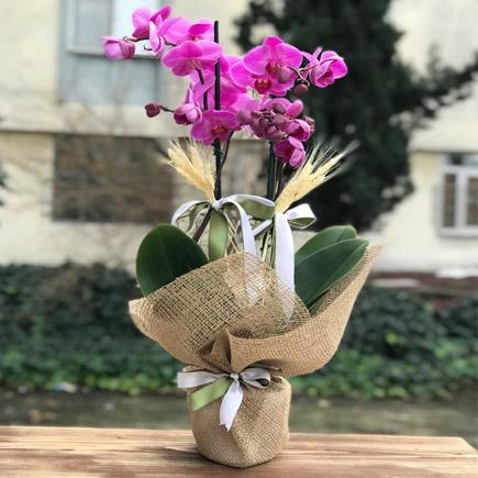 İki Dalllı Mor Orkide Çiçeği