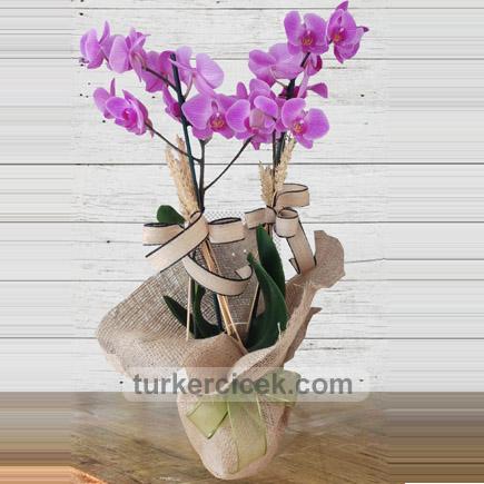 İki Dallı Mor Orkide