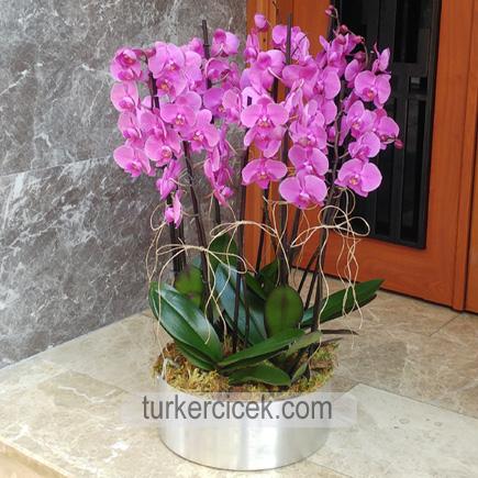 8 Dallı Mor Orkide