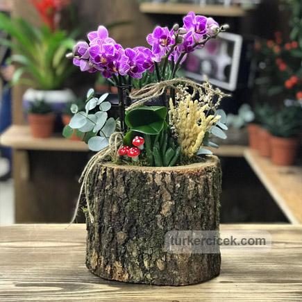 Kütük Saksıda Mini Orkide